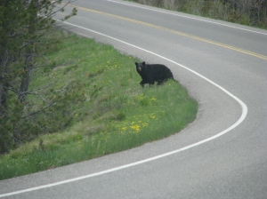 Black Bear near Colter Bay in Grand Tetons